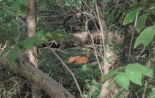 Un capriolo nel Parco dei Boschi di Carrega